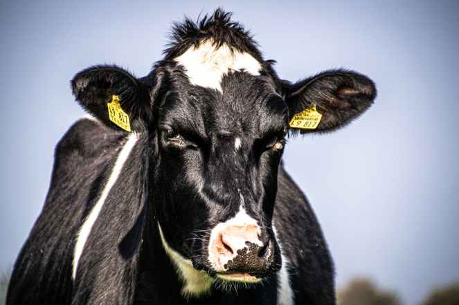 close up photo of cow